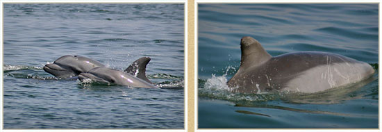 study of cetaceans in the Bay of Paracas